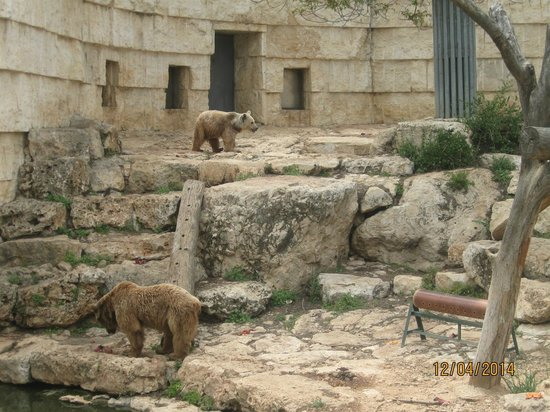 Tisch Family Zoological Gardens (Biblical Zoo): דוב סורי