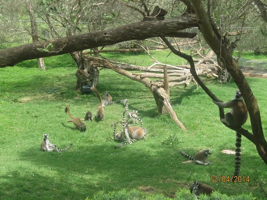 Tisch Family Zoological Gardens (Biblical Zoo): קופי למור