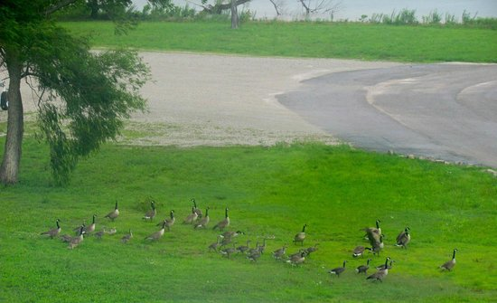 Bluegreen Vacations Paradise Point, Ascend Resort Collection: Geese and Goslings