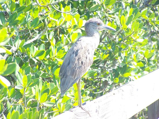 Indian Shores, FL: Visitor on the boardwalk.