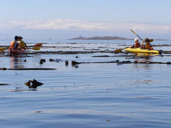 Pacifica Paddle Sports: kelp bed near Discovery Island, BC