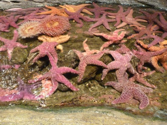 Seattle Aquarium : Starfish