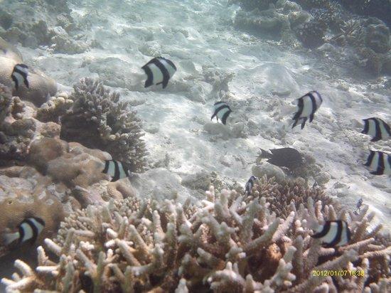 Vilamendhoo Island Resort & Spa: Fish