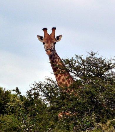 Hlosi Game Lodge: Giraffe