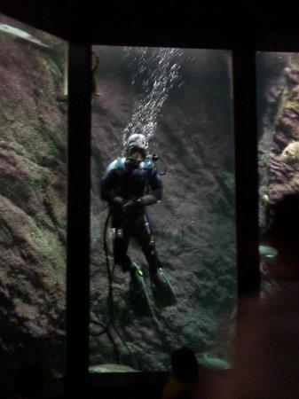 Océanopolis : plongée pour nourrissage des poissons