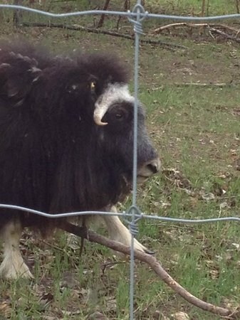 Musk Ox at UAF Large Animal Research Station