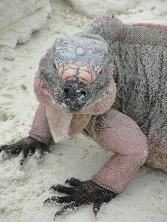 Exuma Water Sports: Iguanas live to be 80