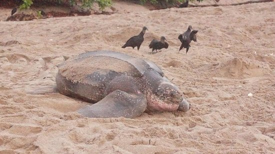 Mt Plaisir Estate Hotel : Leatherback with lurking vultures