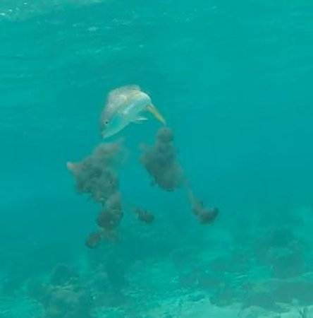 Gumption's Tours BVI: Yellowtail Snapper trying to grab some Cuttlefish