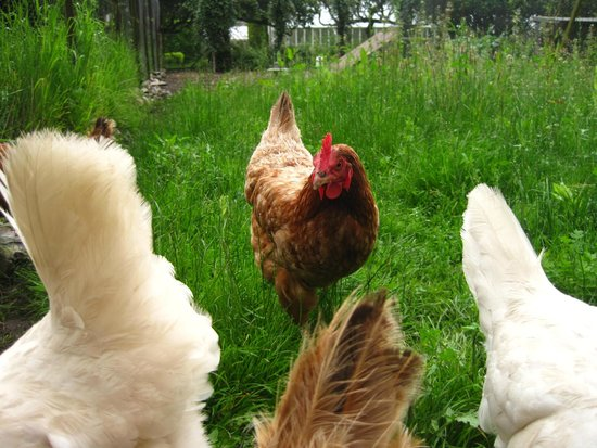 Hollybank House: Very healthy chickens