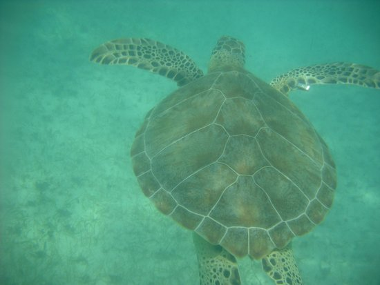 Plage d'Akumal: Nadando con las tortugas
