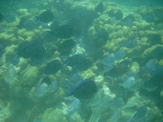 Plage d'Akumal: Maravillosos peces decolores