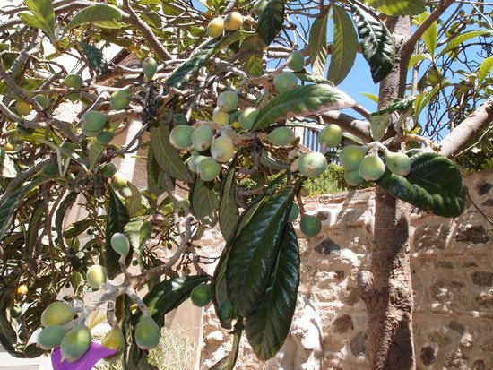 Museo del Greco: A fig tree on the grounds.