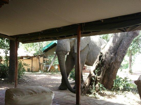 Governor's Camp: Elefante davanti alla tenda