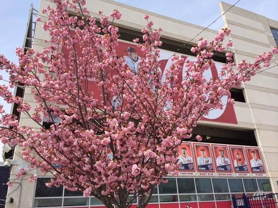 Nationals Park: More cherry blossoms