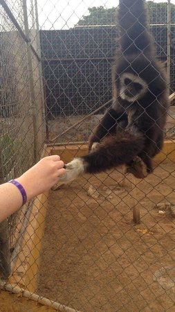 Monkey Park : The gibbons are also very gentle and will hold your hand