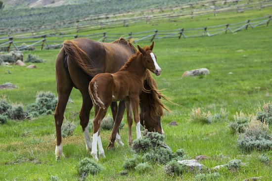 Bitterroot Ranch : Beautiful foals every Spring