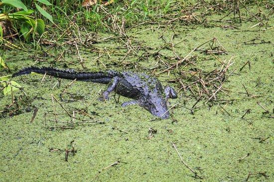 Corkscrew Swamp Sanctuary : alligator