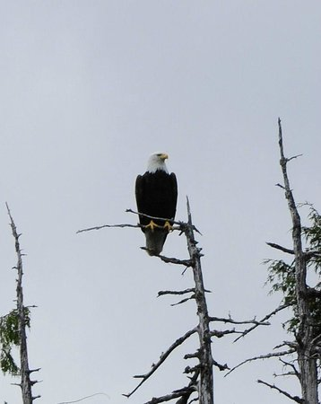 Experience Alaska Tours: Bald eagle looking for lunch.