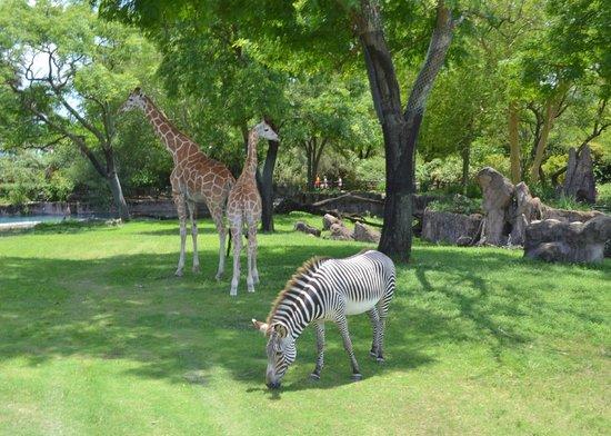 Giraffes And A Zebra In The Serengeti Safari Picture Of