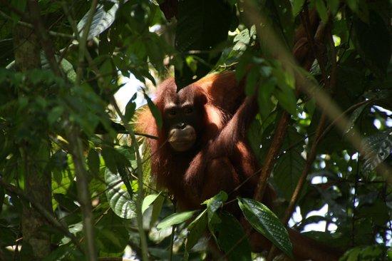 Orang Utan Sanctuary : what are you looking at