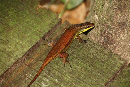 Orang Utan Sanctuary : lizard