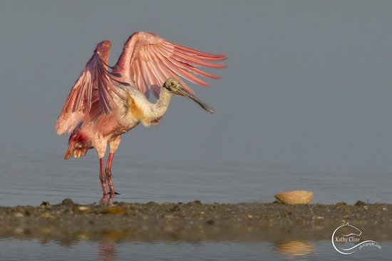 Waterside Inn on the Beach: Sunrise Rosetta Spoonbill at Ding Darling Wildlife Refuge