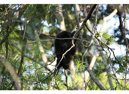 Jungle Lodge: Howler monkey by pool