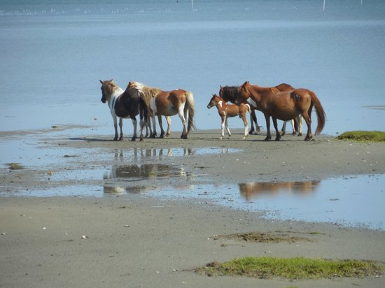 ‪‪Assateague Beach‬: Stallion and his harem.‬