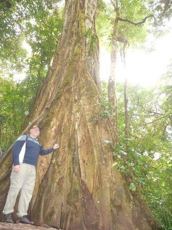 Monteverde Cloud Forest Biological Reserve : Immense trees