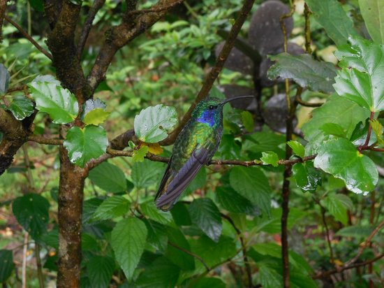 Monteverde Cloud Forest Biological Reserve : Coffee with the humming birds