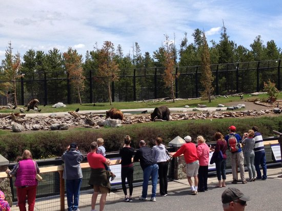 Grizzly and Wolf Discovery Center: bears