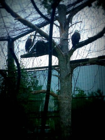 Bay Beach Wildlife Sanctuary: Gorgeous pair of Bald Eagles