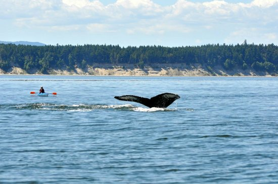 Wild Whales Vancouver: Humpback
