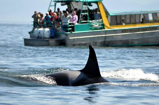 Wild Whales Vancouver: Orca