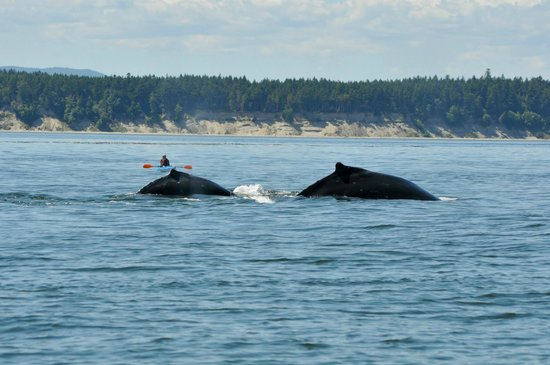 Wild Whales Vancouver: Humpbacks