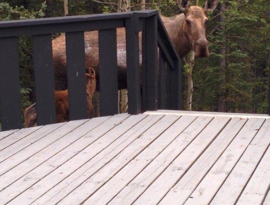 The Perch Resort: Moose!