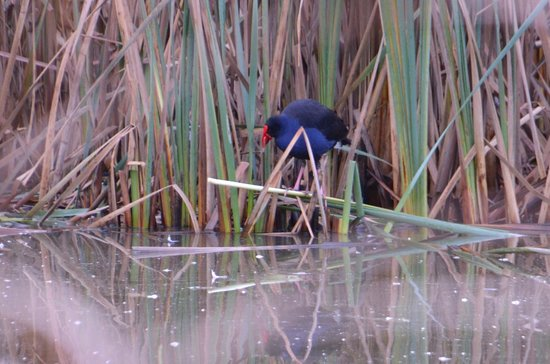 Birdsland Reserve: Colourful water fowl in the reeds