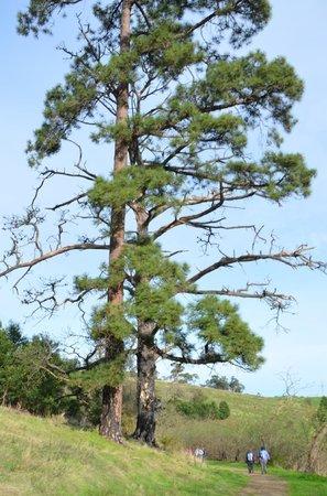Birdsland Reserve: Towering pine tree dwarfs walkers below