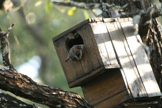 Turaco Lodge: bushbaby that lives on the property