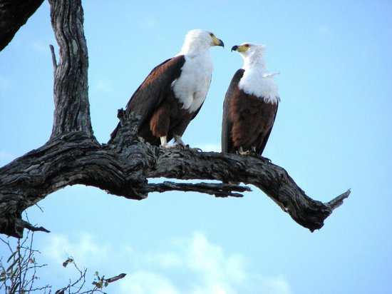 Turaco Lodge: world-famous African Fish Eagle