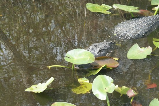 Airboat In Everglades : One of many gator spottings