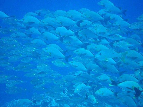 Te Mara Nui Plongee: Banc sur Napo Miri