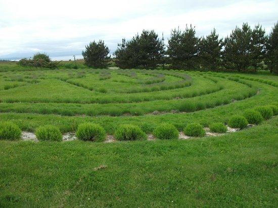 Lavender Wind Farm: The 'maze'