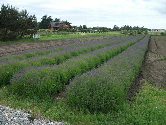 Lavender Wind Farm: Lavender field