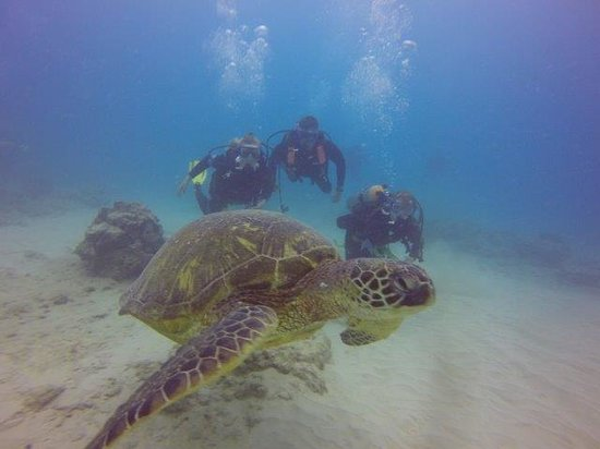 Oahu Diving: Diving with the Hawaiian Green Turtles