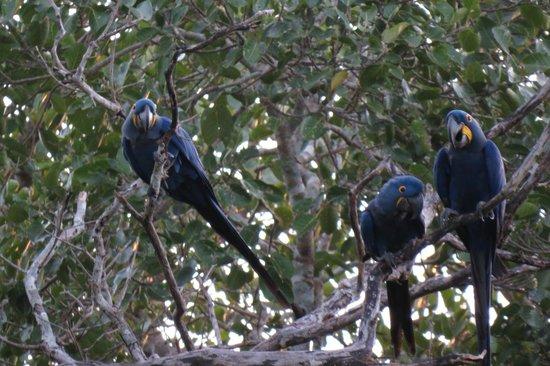 Araras Pantanal Ecolodge: Blue For ever