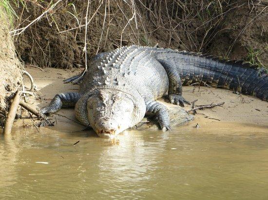 Crocodile Express Daintree River Cruises : Big Croc