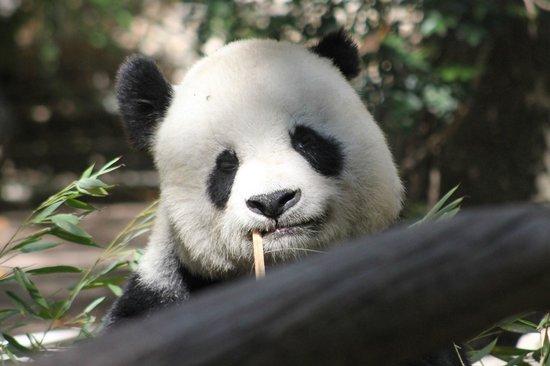 San Diego Zoo: Giant Pandas are almost extinct...