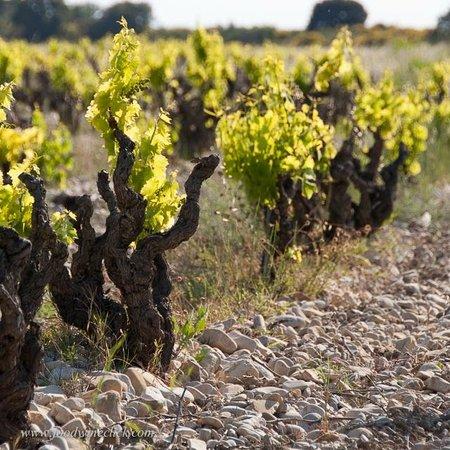vineyards surround Domaine Rouge-Bleu